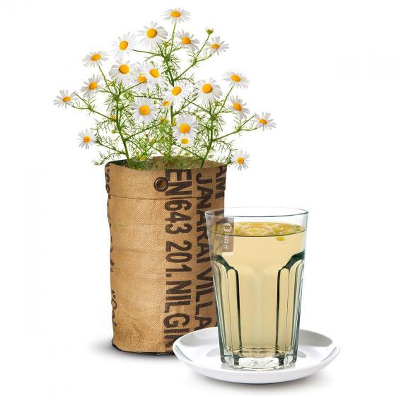 Teegarten BIO Kamillesamen im RAG-Pflanzbeutel | #2