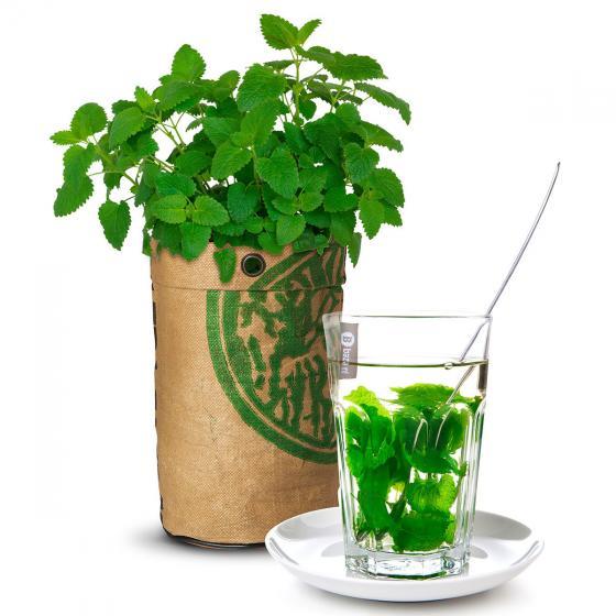 Teegarten BIO Zitronenmelissesamen im RAG-Pflanzbeutel | #2