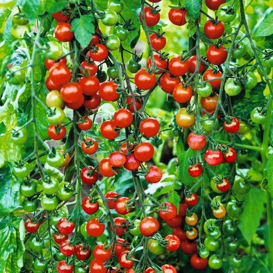 Tomatenpflanze Solena Sweet Red, veredelt, im ca. 12 cm-Topf | #2