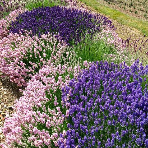Englischer Lavendel Lady Ann, im ca. 13 cm-Topf | #2