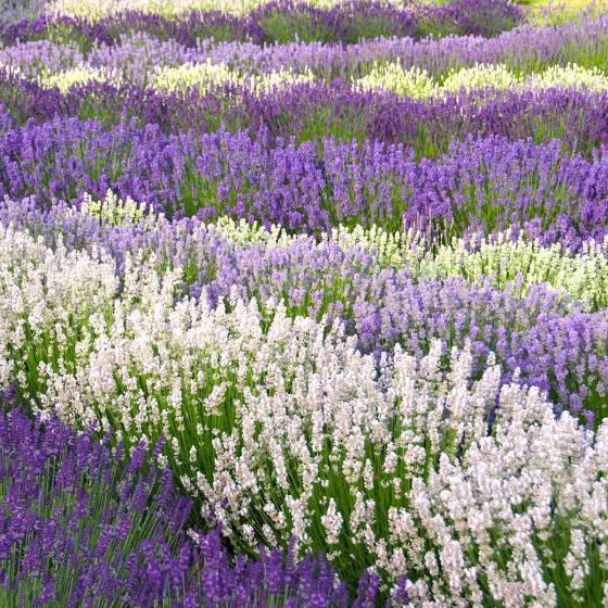 Englischer Lavendel Arctic Snow, im ca. 13 cm-Topf | #2