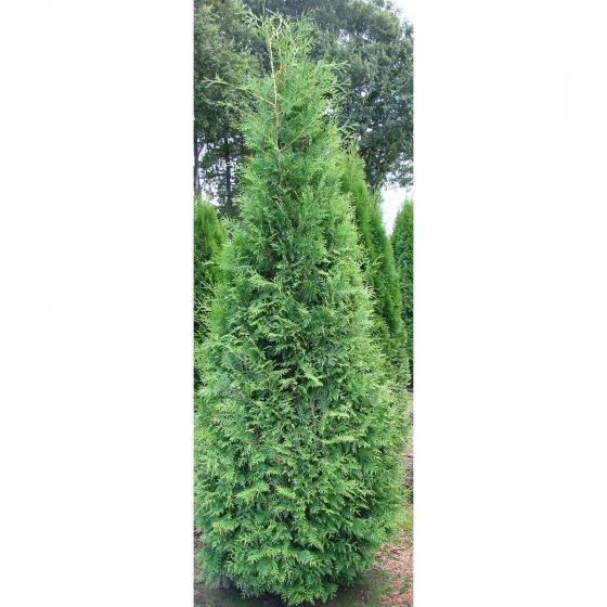 Lebensbaum Brabant, im 7,5-Liter-Topf | #2