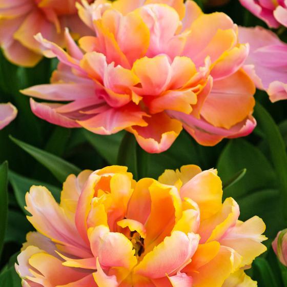 Tulpe Pink Star | #2