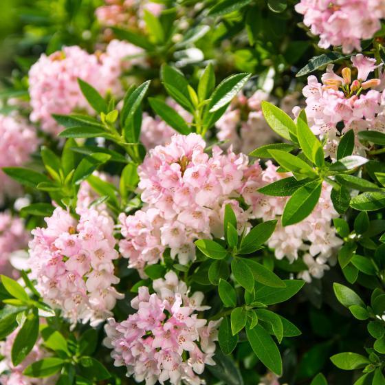 Bloombux®, pink, im ca. 17 cm-Topf | #2