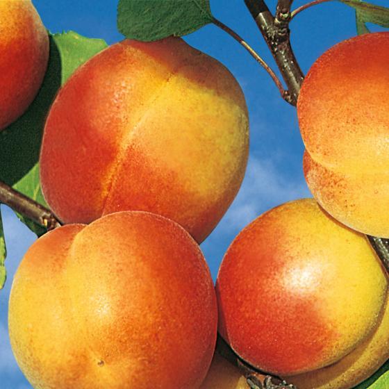 Säulen-Aprikose Orange | #2
