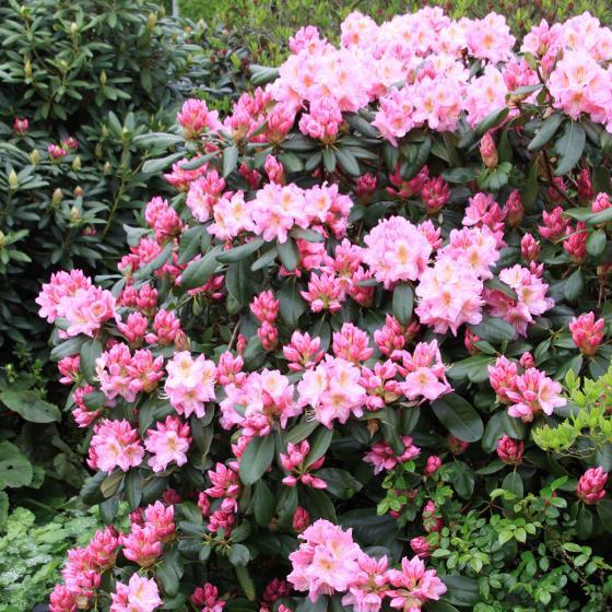 Rhododendron Scintillation, im 2-Liter Container | #2
