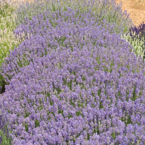 Englischer Lavendel Cedar Blue, im ca. 13 cm-Topf | #2