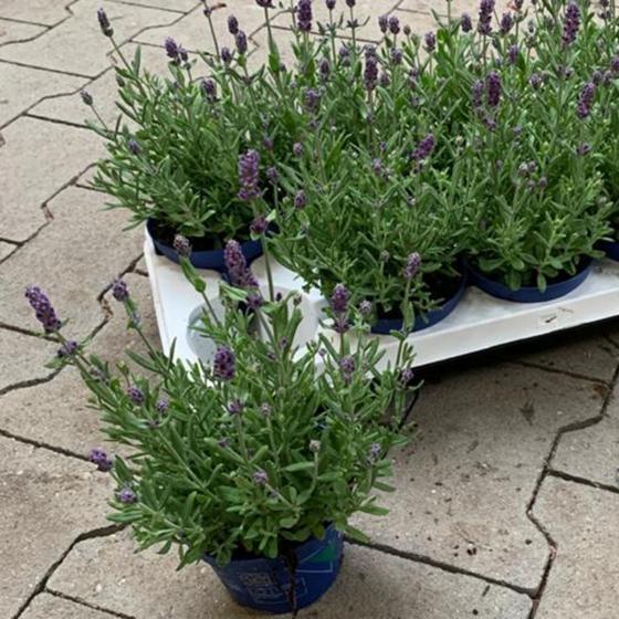 Bienen-Lavendel, im ca. 11 cm-Topf | #2