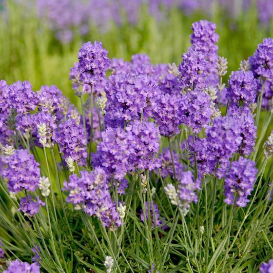 Englischer Lavendel Miss Muffet | #2