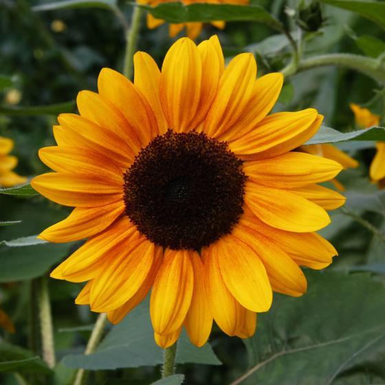 Sonnenblumensamen Copper Queen F1 | #2
