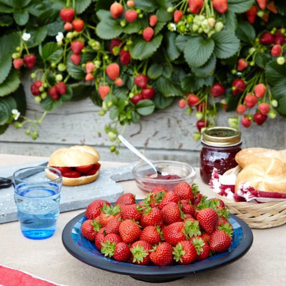 Duft-Erdbeere Delizz®, im ca. 12 cm-Topf | #2