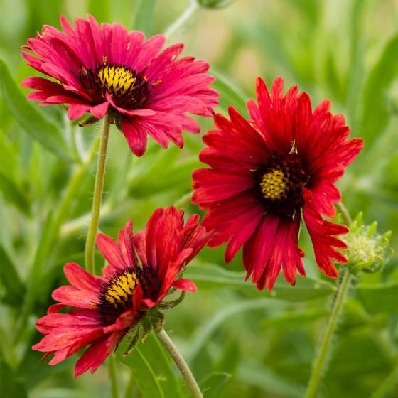 Kokardenblumensamen Firewheels | #2