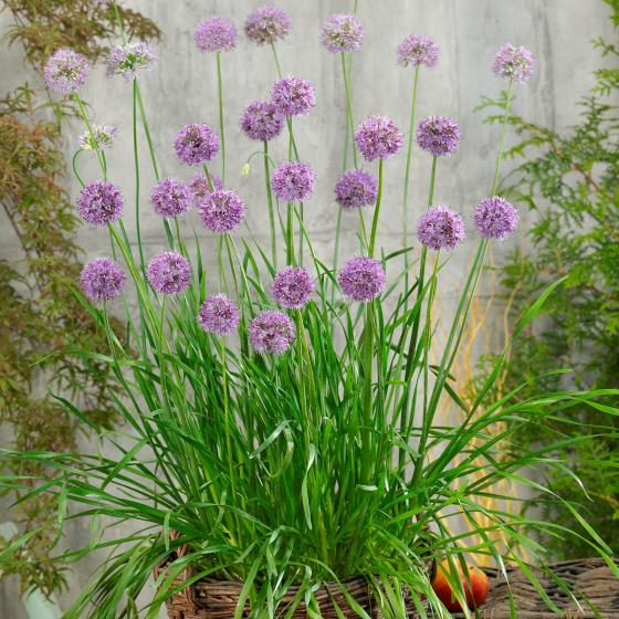 Bio-Kräuterpflanze Winterharter Garten-Knofi | #2