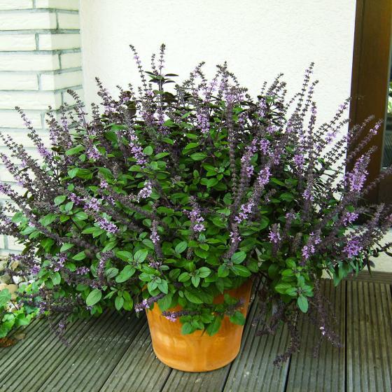 BIO Kräuterpflanze Strauch-Basilikum, im ca. 12 cm-Topf | #2