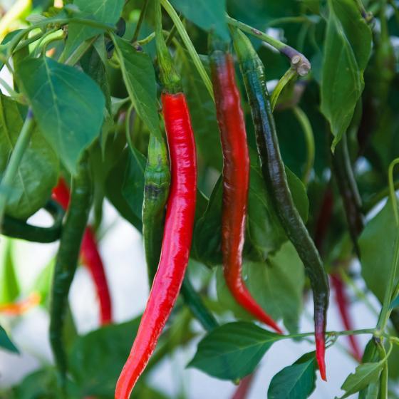 Blu Bio-Gemüsepflanze Chili Joe´s Long | #2