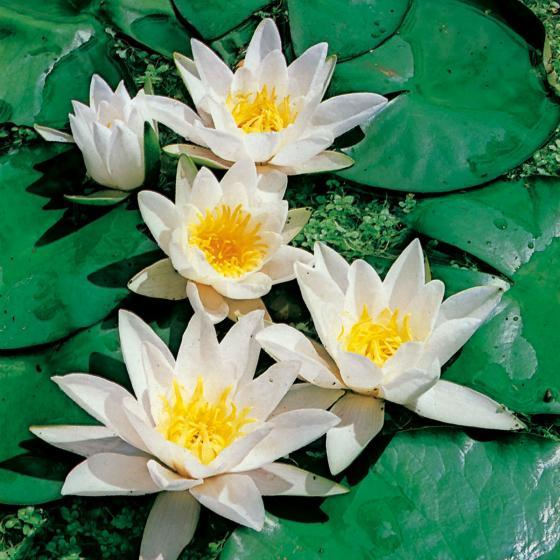 Weiße Seerose | #2