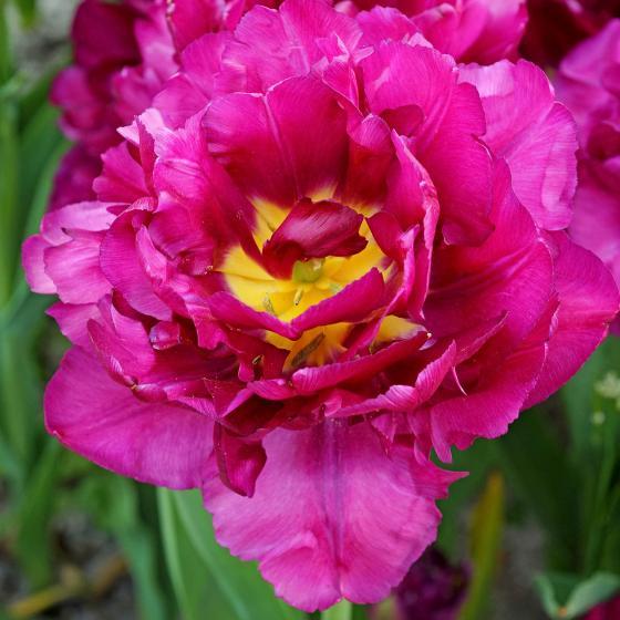 Tulpe Mariola | #2