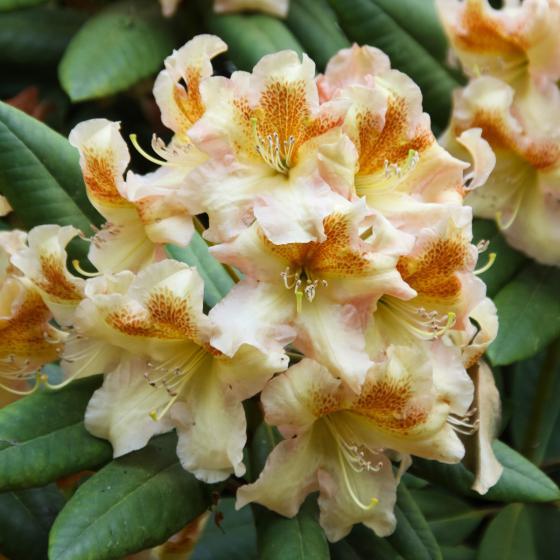 Rhododendron Bernstein | #2
