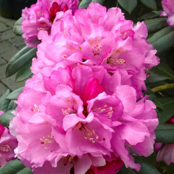 Kompakter Rhododendron Rosa Wolke | #2