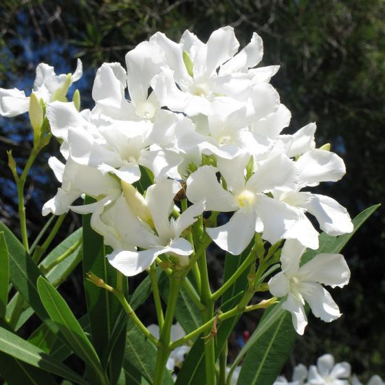 Weißer Oleander, XL-Qualität | #2