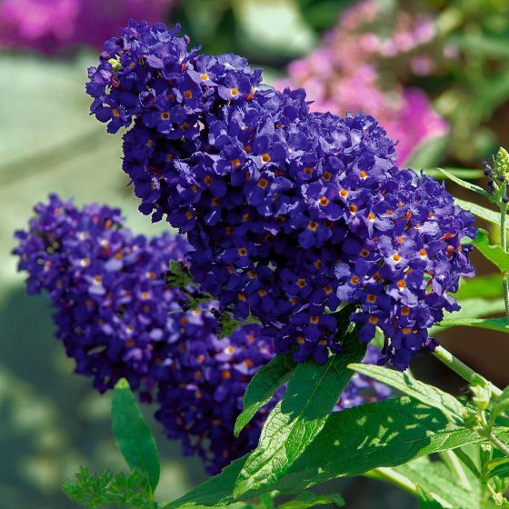 Kompakter Schmetterlingsflieder, blau,  im ca. 25 cm-Topf | #2