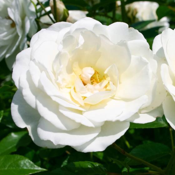 Rose Schneewittchen, XL-Qualität | #2
