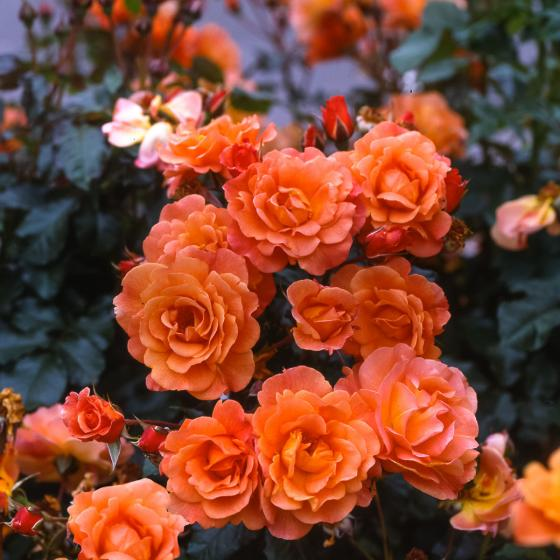 Rose Westerland, XL-Qualität | #2