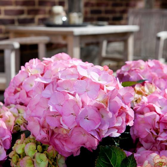 Hortensie Kanmara, rosa | #2