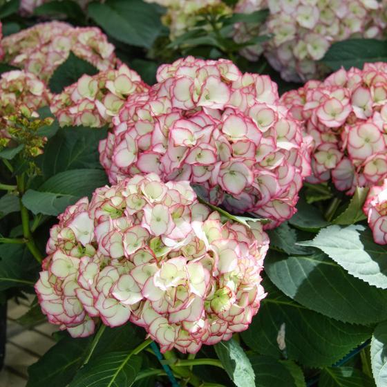 Hortensie Kanmara, pink | #2