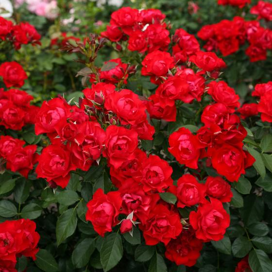 Rose Black Forest Rose®, XL-Qualität | #2