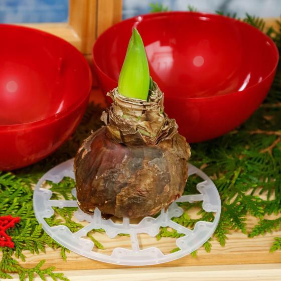 Amaryllis in roter Weihnachtsbaum-Kugel | #2