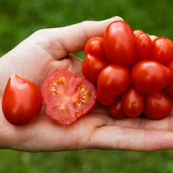 Tomatenpflanze Reisetomate Voyage, veredelt, im ca. 12 cm-Topf | #2