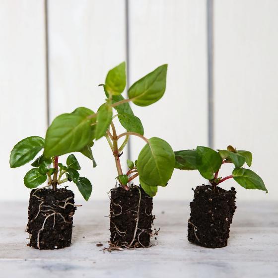 Mini-Jungpflanzen-Sortiment Hänge-Fuchsien | #2
