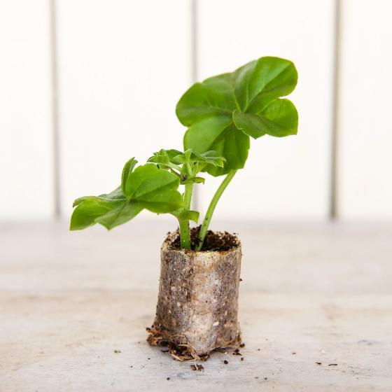 Mini-Jungpflanze Hänge-Geranie Tomcat | #2