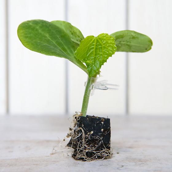 Mini-Jungpflanze Gurke Mini Stars F1, veredelt | #2