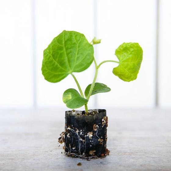 Mini-Jungpflanze Gurke Passandra F1 | #2