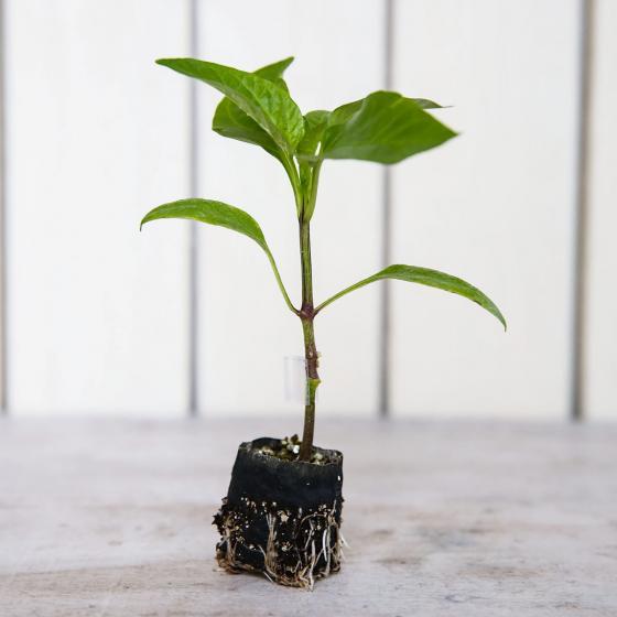 Mini-Jungpflanze Paprika Britney F1, veredelt | #2