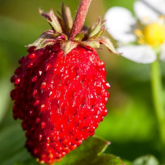 Erdbeerpflanze Monatserdbeere, im ca. 9 cm-Topf | #2