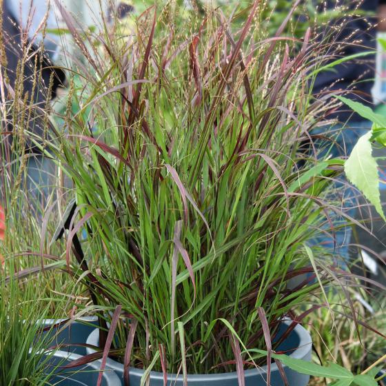 Rutenhirse Sangria, im ca. 9 cm-Topf | #2