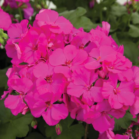 Calliope® Geranie Deep Rose, im ca. 12 cm-Topf | #2