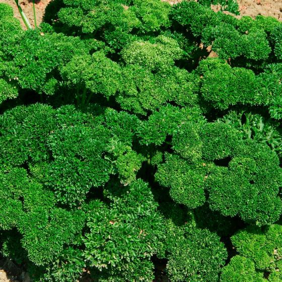 Petersiliensamen Frise vert fonce, Robust | #2
