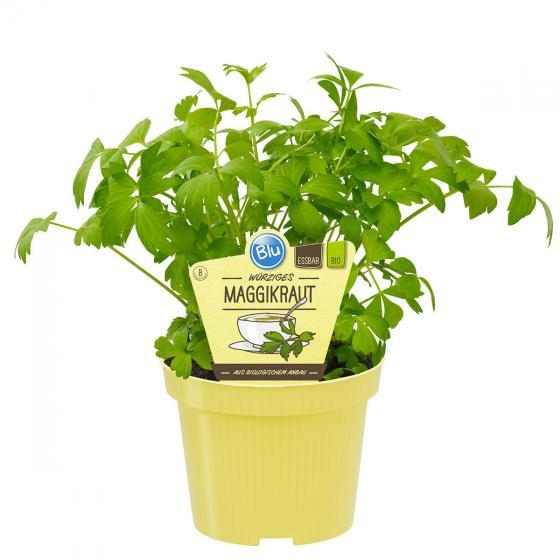 BIO Kräuterpflanze Maggikraut | #2