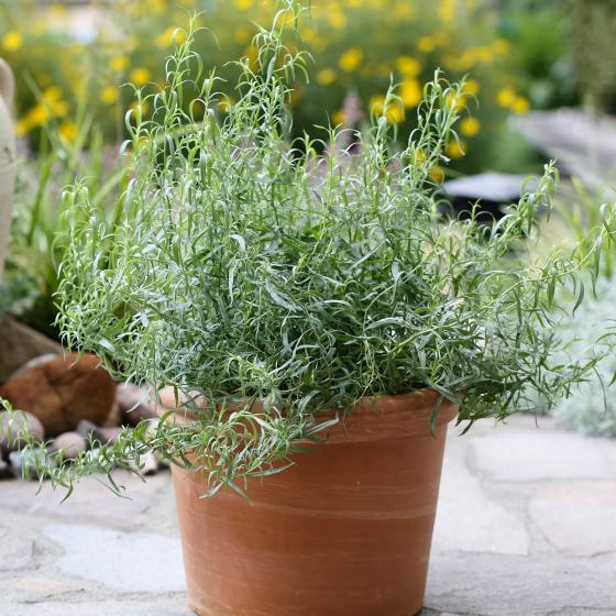 BIO Kräuterpflanze Französischer Estragon, im ca. 12 cm-Topf | #2