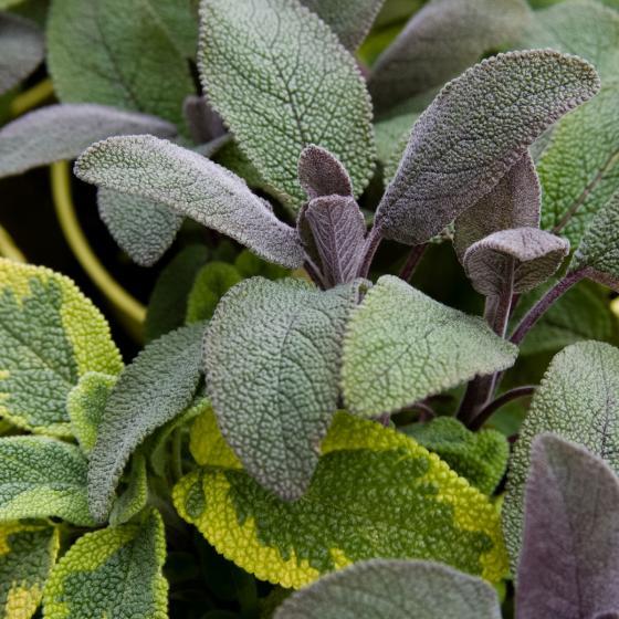 Kräuterpflanze Vital Salbei Evita, im ca. 12 cm-Topf | #2