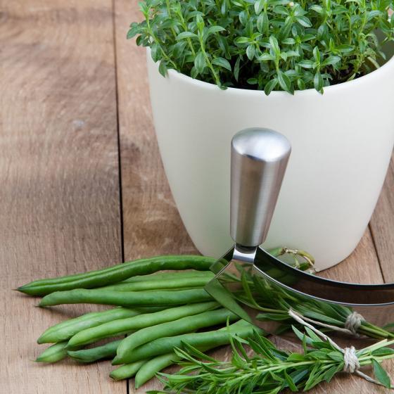 Bio-Kräuterpflanze Berg Bohnenkraut | #2