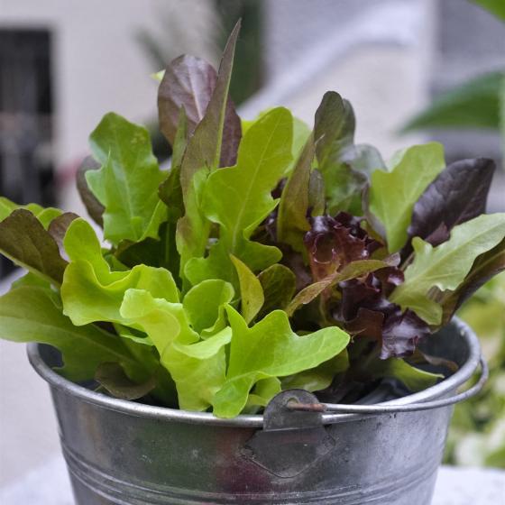 Pflück-Salatpflanze, im ca. 11 cm-Topf | #2