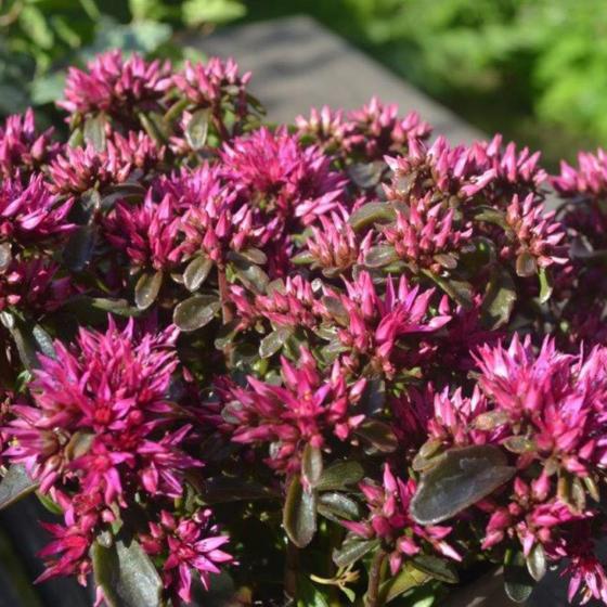 Teppich-Fetthenne, pink-rosa, im ca. 9 cm-Topf | #2