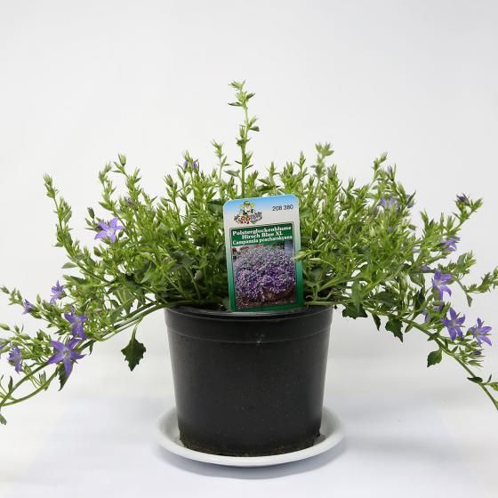 Polsterglockenblume Hirsch Blue, XL-Qualität | #2