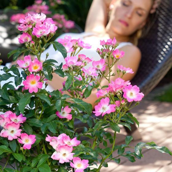 Phlox-Rose Rosy Boom®, pink, XL-Qualität | #2