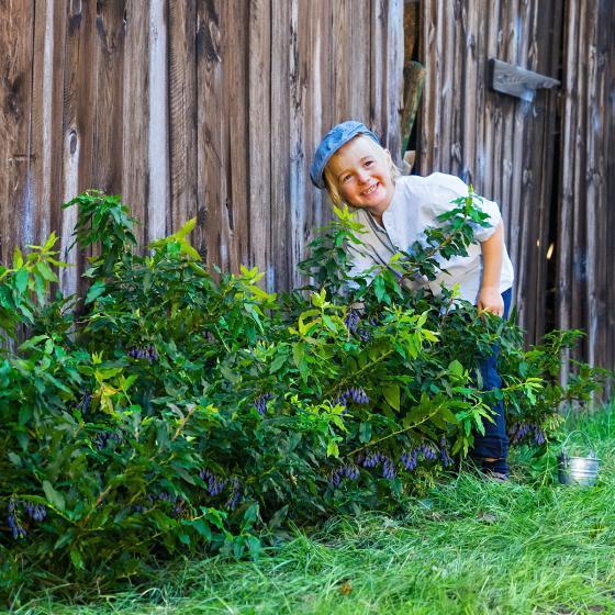 Vier-Monats Heidelbeere Lucky Berry® | #2